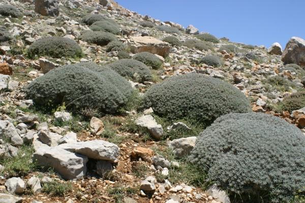 קדד אדום-פרחים Astragalus cruentiflorus Boiss.