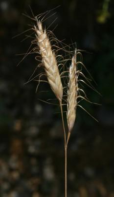 ברומית רבת-מלענים Bromus danthoniae Trin.
