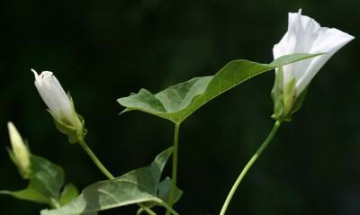 מטפסים של בתי-גידול לחים. העלים דמויי חץ, ארוכים פי 3 לפחות מרוחבם. צבע הכותרת לבן או קרם.