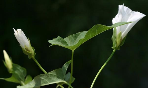 Calystegia sepium (L.) R.Br.