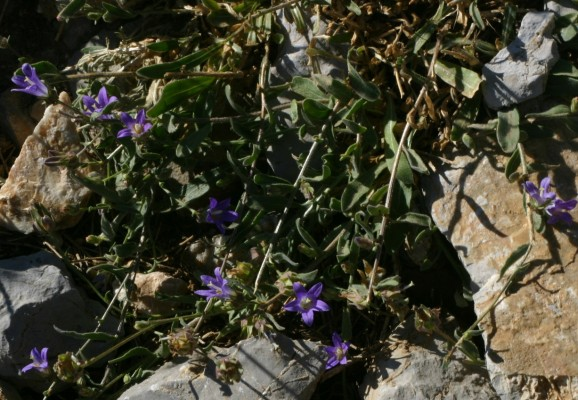 פעמונית אמתית Campanula stricta L. var. libanotica (DC.) Boiss.