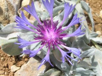 צבע הפרחים כחול, פרחי ההיקף גדולים ובלתי נכונים.