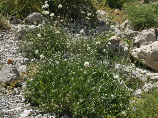 Cephalaria stellipilis Boiss.