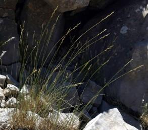 צמחים רב-שנתיים גדלים בטרשים גירניים בחרמון.