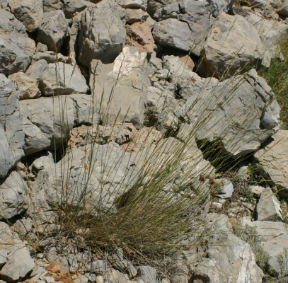Elymus libanoticus (Hack.) Melderis