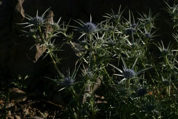חרחבינה ירוקה Eryngium bourgatii Gouan
