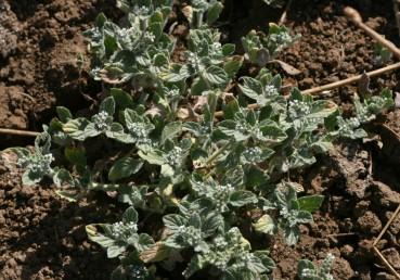 צמחים חד-שנתיים היוצרים מרבדים בהתייבש שלוליות חורף.