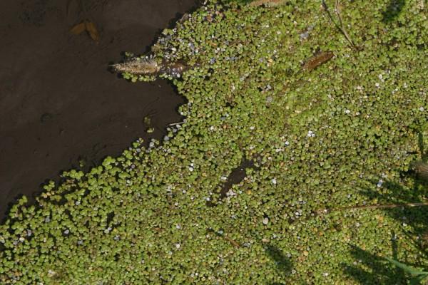 עדשת-מים גיבנת Lemna gibba L.