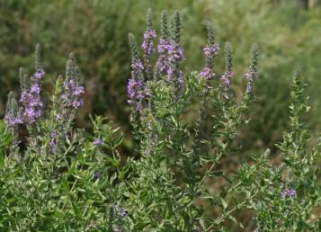 עשבים רב-שנתיים שעירים בעלי בסיס מעוצה, מתחדשים מדי אביב  מבסיסם ומגיעים לגובה 2-1 מ'.