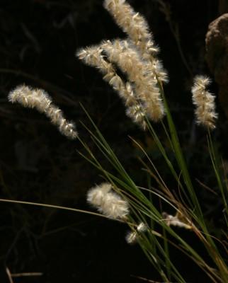 הררית שעירה Melica persica Kunth