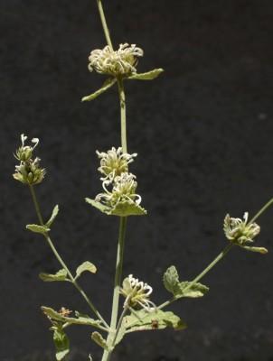 נפית איטלקית Nepeta italica L.