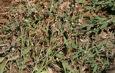 יוצרים מעין דשא בקרקעית דולינות. העלים דמויי ביצה או אזמל בצדם התחתון עורק אורכי בולט.