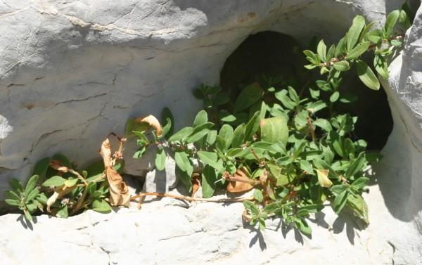 ארכובית חרמונית Polygonum cognatum Meisn.