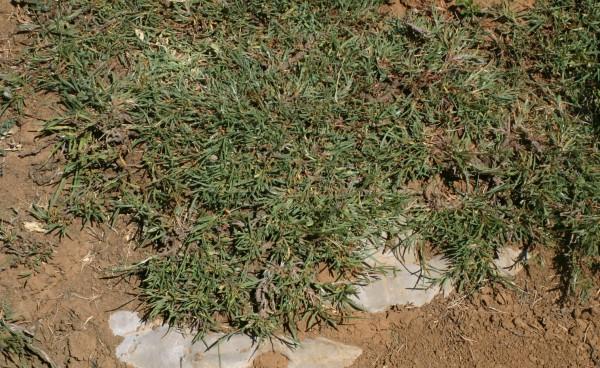 ארכובית זיפנית Polygonum setosum Jacq.