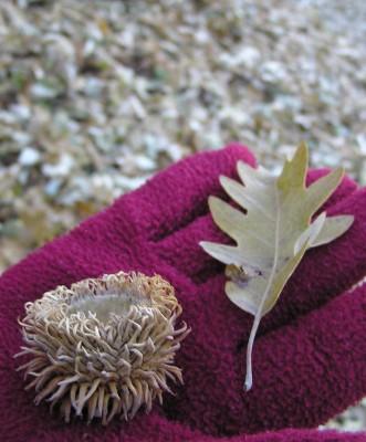 אלון שסוע Quercus cerris L.