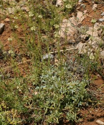 ברזילון הלבנון Sideritis libanotica Labill.
