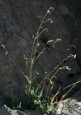 ציפורנית הלבנון Silene libanotica Boiss.
