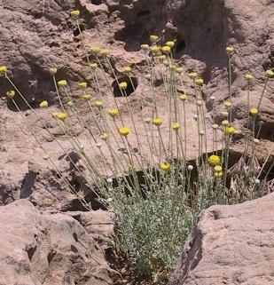 קחוון דל-אונות Anthemis pauciloba Boiss.