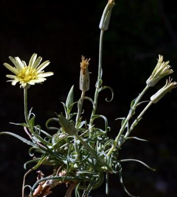 זקן-תיש צהוב Tragopogon buphthalmoides (DC.) Boiss.
