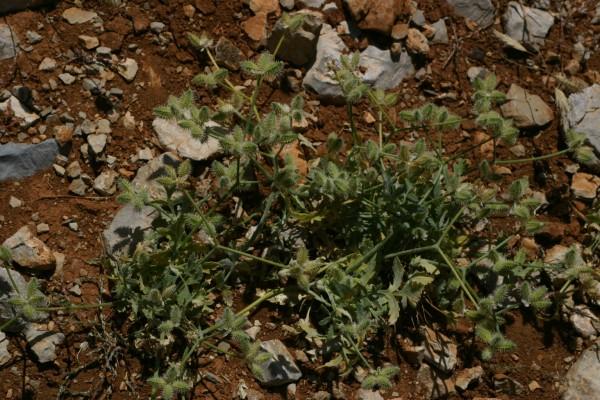 טורגניה רחבת-עלים Turgenia latifolia (L.) Hoffm.