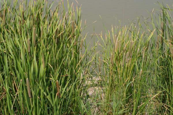 Typha domingensis (Pers.) Steud.