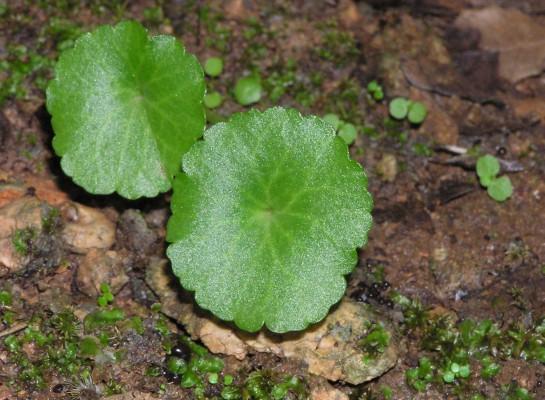 טבורית נטויה Umbilicus intermedius Boiss.