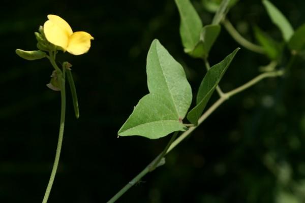 לוביה מצרית Vigna luteola (Jacq.) Benth.