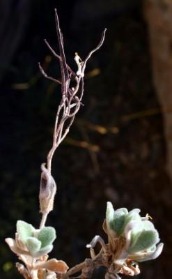 ארביס קווקזי Arabis alpina L.