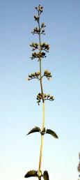 התפרחות בעלות עוקץ, מרובות פרחים. צבע הכותרת צהוב-חום מלוכלך. 1. צמחים הגדלים ליד מים.
