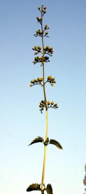 לוענית גדולת-עלים Scrophularia macrophylla Boiss.