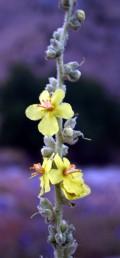 צבעם של זירי האבקנים צהוב או עם שערות לבנות על זיר צהוב-כתום.