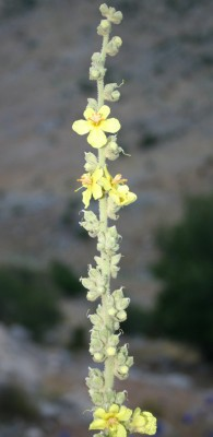 בוצין דק-שיבולת Verbascum leptostachyum DC.