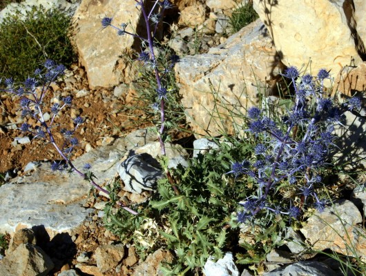 חרחבינה חרמונית Eryngium billardierei F. Delaroche