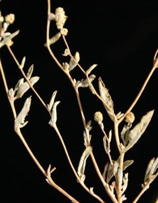 מלוח שעיר-פרח Atriplex lasiantha Boiss.