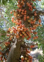 הפגות מקובצות באשכולות על גזע העץ. הפגות חסרות זרעים וכל העצים המצויים בארץ נטועים.