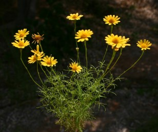 העלים גזורים-מנוצים לאונות נימיות. פרחי התפרחת כתומים-צהובים.