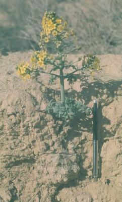 ערטנית השדות Leontice leontopetalum L.