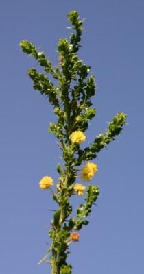 שיטה דוקרנית Acacia paradoxa DC.