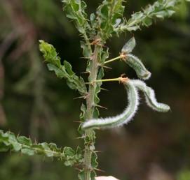 הפרי שעיר מכוסה בצפיפות שערות לבנות.