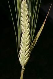 ציר השיבולת אינו שביר;  ניכרים בה שני טורי גרגירים.