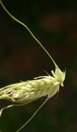 אחד מכל שלישיית פרחים מבשיל.