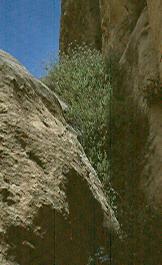 אזובית פטרה Origanum petraeum Danin