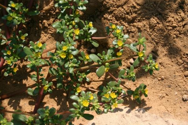 רגלת הגינה Portulaca oleracea L.