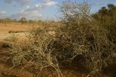 שיחים קוצניים עם ענפים קשתיים הגדלים בחולות מישור החוף והנגב.