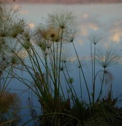 גובה הצמח 5-2 מ' (לצלם עם קנ
