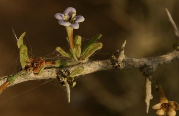 אטד אירופי Lycium europaeum L.