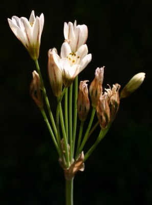Nothoscordum xborbonicum Kunth