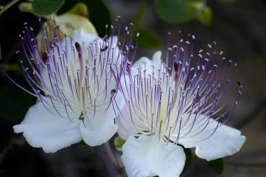 פרחי לילה ריחניים בעלי 4 עלי כותרת והרבה אבקנים, הזירים לרוב מאדימים