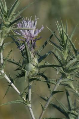 Carthamus tenuis (Boiss. & Blanche) Bornm.