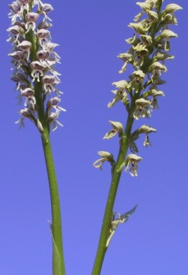 סחלב הגליל Orchis galilaea (Bornm. & M.Schulze) Schlechter